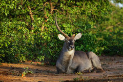 Waterbuck bull resting in early morning sun stock photography