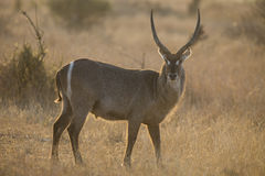 Waterbuck bull at sunset with sun from behind Royalty Free Stock Images