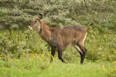 Waterbuck in the Bush Stock Photography