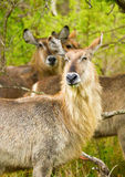 Waterbuck in the Bush in South Africa Stock Image