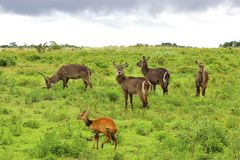 Waterbuck and bushbuck, Tanzania. Waterbucks and a single bushbuck in arusha nationa park. tanzania Stock Photo