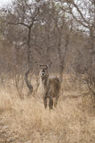 Waterbuck. In the bushes. South Africa Stock Images