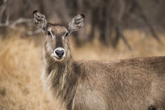 Waterbuck. In the bushes. South Africa Royalty Free Stock Photo