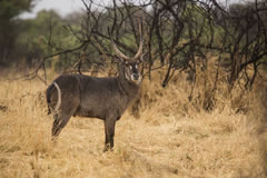 Waterbuck. In the bushes. South Africa Stock Photo