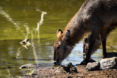 Waterbuck buvant au point d'eau Images stock