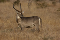 Waterbuck byk Obrazy Royalty Free