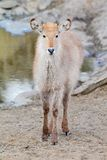 Waterbuck calf Royalty Free Stock Image