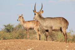 Waterbuck Calf and bull - African Wildlife - King of the Hill Stock Images