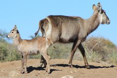 Waterbuck Calf - Wildlife from Africa proudly with Mother Stock Image