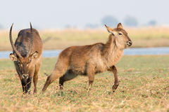 Waterbuck chasing doe in heat. In rut Stock Image