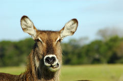 Waterbuck Chewing Royalty Free Stock Photo
