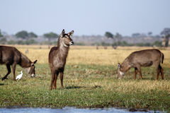 Free Waterbuck - Chobe N.P. Botswana, Africa Royalty Free Stock Photos - 39626288