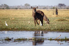 Waterbuck - Chobe N.P. Botswana, Africa Royalty Free Stock Photo