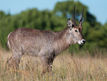 Waterbuck close Royalty Free Stock Photo