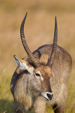 Waterbuck close up of head. Waterbuck (kobus ellipsiprymnus) close up of head against a blurred natural setting, South Africa Stock Images