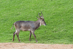 Waterbuck. Close up of a male Waterbuck walking Royalty Free Stock Image