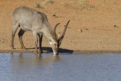 Waterbuck común que bebe, Afr del sur Fotografía de archivo