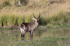 Waterbuck commun photo libre de droits