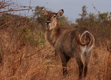Waterbuck cow Stock Photos