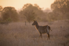 Waterbuck cow at sunset with sun from behind Stock Images