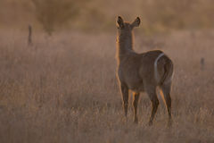 Waterbuck cow at sunset with sun from behind. Waterbuck cow at sunset with the sun from behind Royalty Free Stock Photo