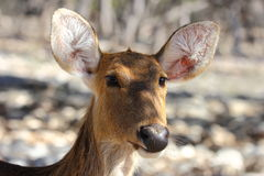 Waterbuck Doe Stock Photo