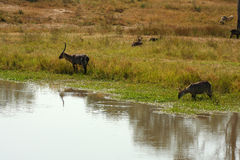 Waterbuck drinking safari Stock Photography