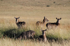 Waterbuck drinking water. Stock Photos