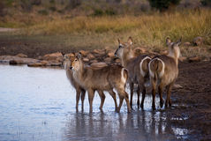 Waterbuck early morning drink Stock Image