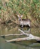 Waterbuck in een rivier, Zuid-Afrika stock foto's