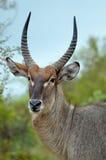 Waterbuck (ellipsiprymnus de Kobus) Photo stock