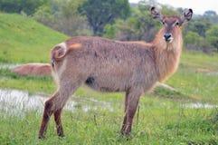 Waterbuck (ellipsiprymnus de Kobus) en parc national de Kruger. Images stock