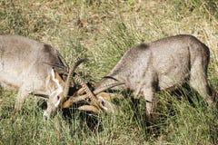 Waterbuck en el parque nacional de Kruger Imagenes de archivo