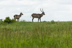 Pair of Waterbuck stock image