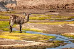 Waterbuck fêmea (ellipsiprymnus do Kobus) imagem de stock