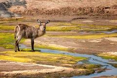 waterbuck för ellipsiprymnuskvinnligkobus Fotografering för Bildbyråer