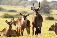 The Waterbuck Family - Kobus Ellipsiprymnus Royalty Free Stock Images