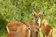 Waterbuck Family. A family of Waterbuck in Murchison Falls National Park, Uganda Stock Image