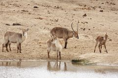 Waterbuck family at the waterhole Royalty Free Stock Photo