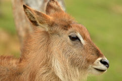 Waterbuck Fawn Stock Photography