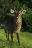 A waterbuck feeding Stock Images