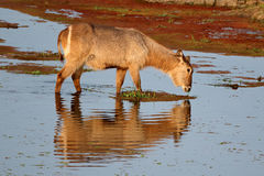 Waterbuck feeding in water Royalty Free Stock Images