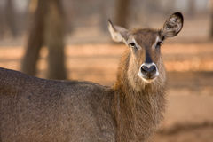 Waterbuck female Royalty Free Stock Photography