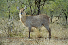 Waterbuck Female Royalty Free Stock Images