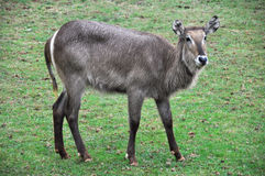Waterbuck (Female) Royalty Free Stock Image