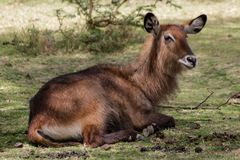 Waterbuck female in Africa wild nature. Waterbuck Kobus ellipsiprymnus wild antelope deer with horn in Africa savannah nature. Safari game wild nature national Royalty Free Stock Images