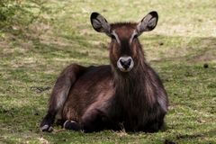 Waterbuck female in Africa wild nature. Waterbuck Kobus ellipsiprymnus wild antelope deer with horn in Africa savannah nature. Safari game wild nature national Royalty Free Stock Photography
