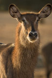Waterbuck female antelope  portrait Royalty Free Stock Photography