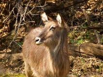 Waterbuck Royalty Free Stock Image