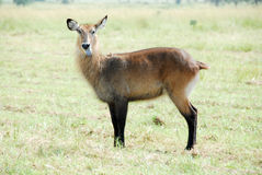 Waterbuck (Female), Kidepo Valley National Park Stock Image